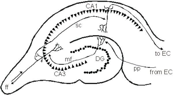 hippocampus regions